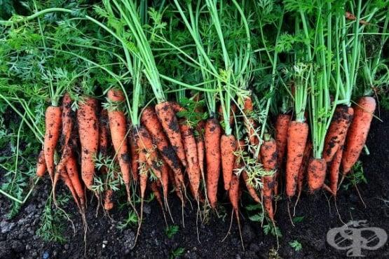 Научете тайните за отглеждане на богата реколта от моркови - изображение