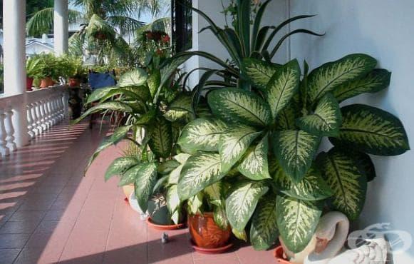 Не отглеждайте това растение у дома - то е опасно - изображение