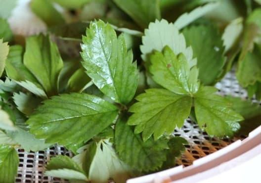 Облекчете гастрита с чай от листа на ягоди - изображение