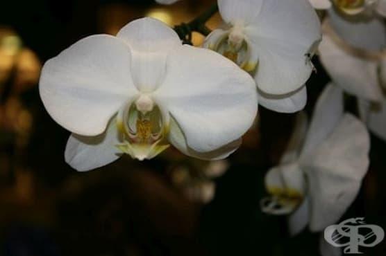За да накарате орхидеята ви да цъфти, почиствайте редовно листата й  - изображение