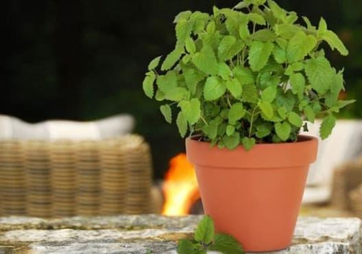 Отблъснете комарите с 8 градински растения - изображение