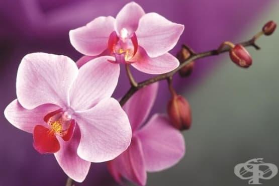 Как да отглеждате у дома 4 от най-разпространените видове орхидеи - изображение