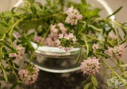 Пийте чай от мащерка за отхрачване на секрета при бронхит, магарешка кашлица и задух - изображение