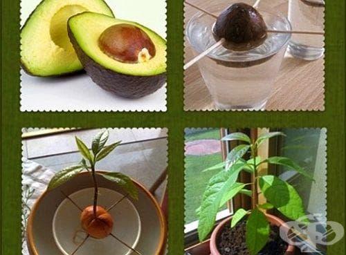 Посадете си авокадо от семка в домашни условия - изображение