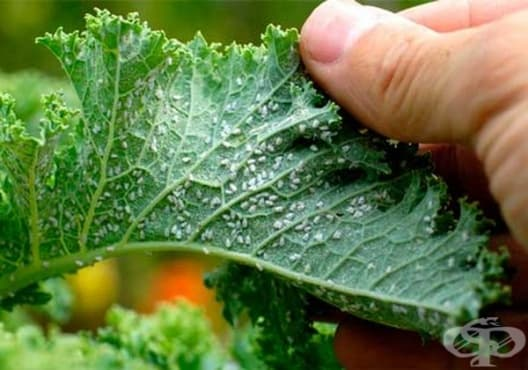 Премахнете листните въшки по растенията със сапунена вода - изображение