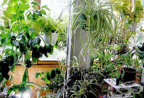 Премахнете въшките по стайните растения без инсектициди - изображение