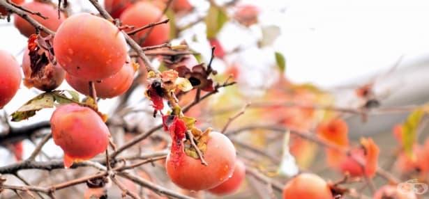 Ако страдате от диабет и стомашни проблеми, яжте райски ябълки - изображение