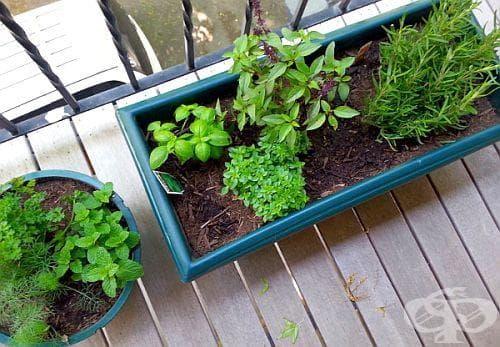За какво са ни полезни 8-те билки, които може да отглеждаме у дома? - изображение