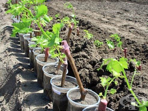 Захванете си желания сорт грозде по най-лесния начин чрез резници - изображение