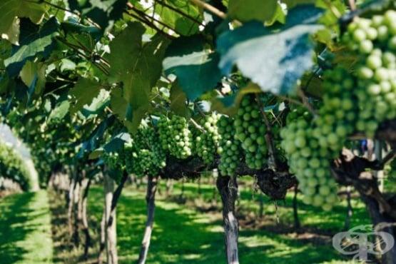 Захванете си желания сорт грозде чрез резници - изображение