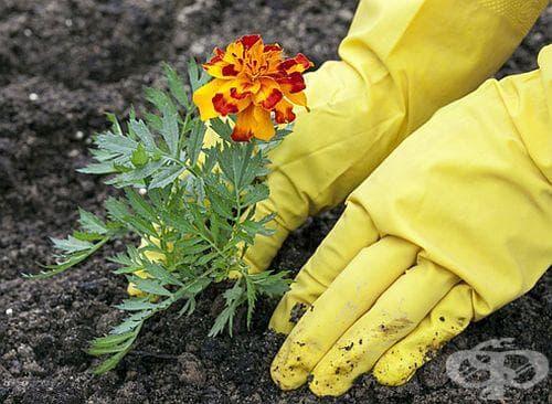 Засадете си тагетис за лечение и за предпазване на градината от вредители - изображение