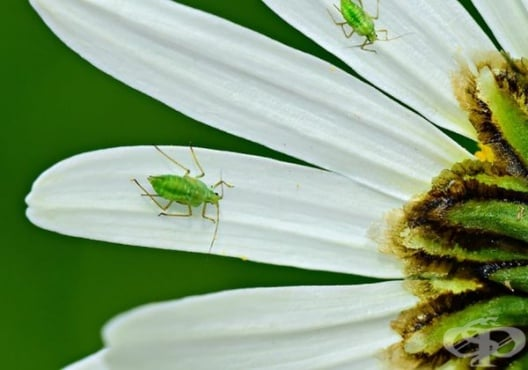 Защитете растенията от листни въшки с чеснов препарат - изображение
