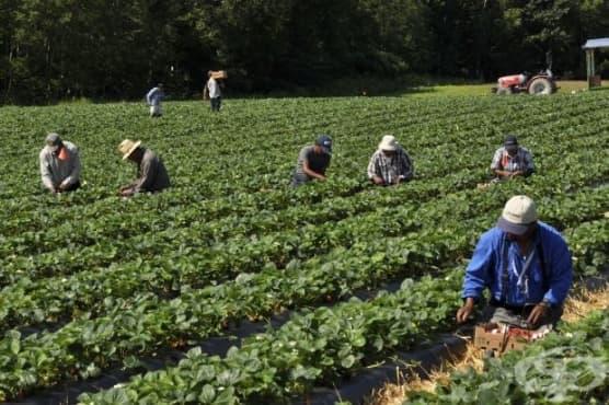 Испански кооператив търси 800 души за бране на ягоди - изображение