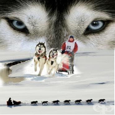 Надбягвания с кучешки впрягове Идитарод - изображение