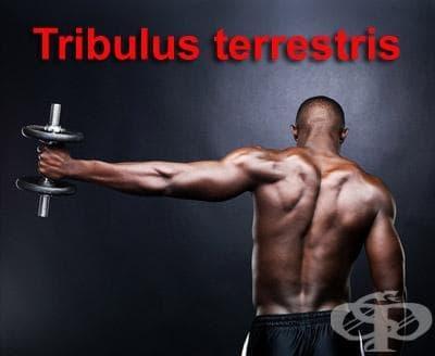 Трибулус терестрис като спортна добавка - изображение