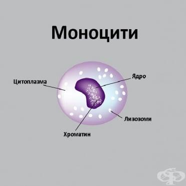 Повишени нива на моноцити в периферната кръв - изображение