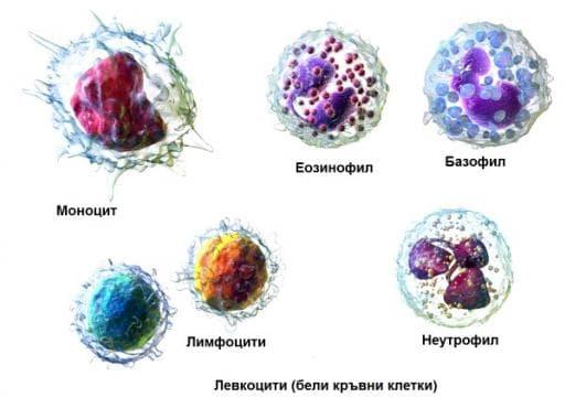 Левкоцити - изображение