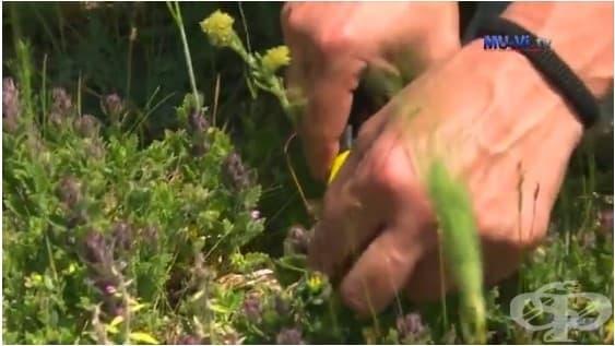 Доцент Илия Желев - Билките са природното богатство на България - интервю - изображение