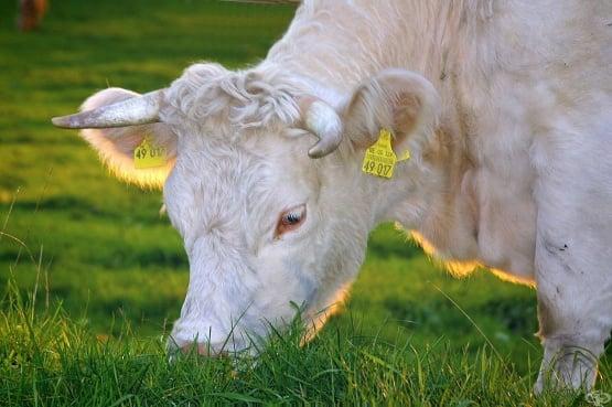 Д-р Юлиана Данаилова - Коластра от крави - готов имунитет, регенерация на тъканите, подмладяване и дълголетие - изображение