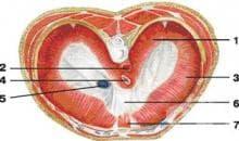 Какво представлява диафрагмата?